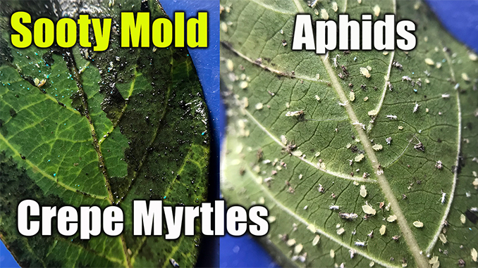 Kill Aphids And Black Mold On Bushes And Crepe Myrtles