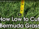 bermuda cut height