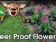 deer resistant flowers