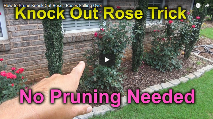 Easy Pruning For Knock Out Roses