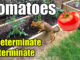 best tomatoes to plant