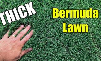 thick bermuda grass