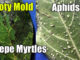kill aphids black leaves crepe mytrles