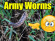 army worms in lawn