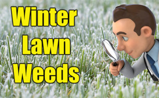 killing winter lawn weeds