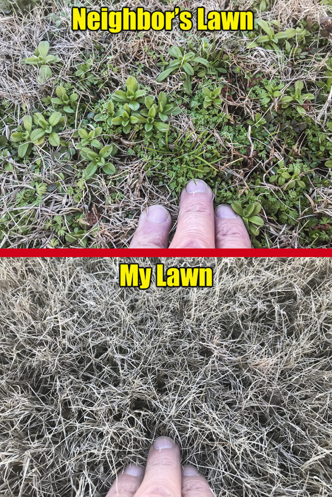 winter lawn weeds two lawns
