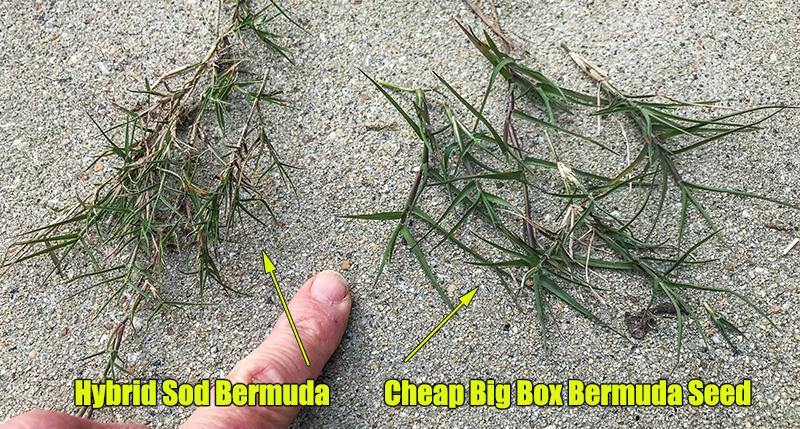 bermuda lawn seed