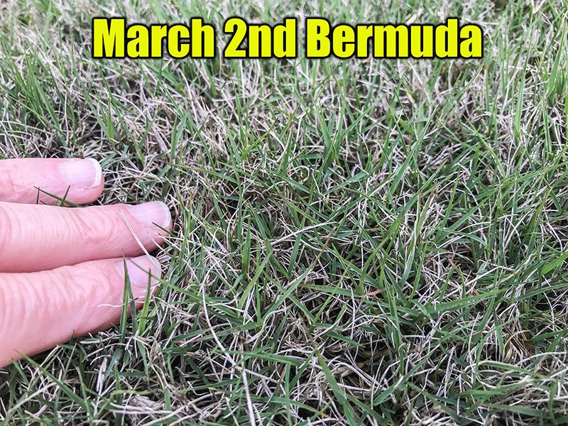 spring bermuda grass