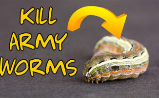 kill armyworms lawn