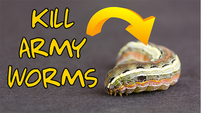 kill armyworms lawn