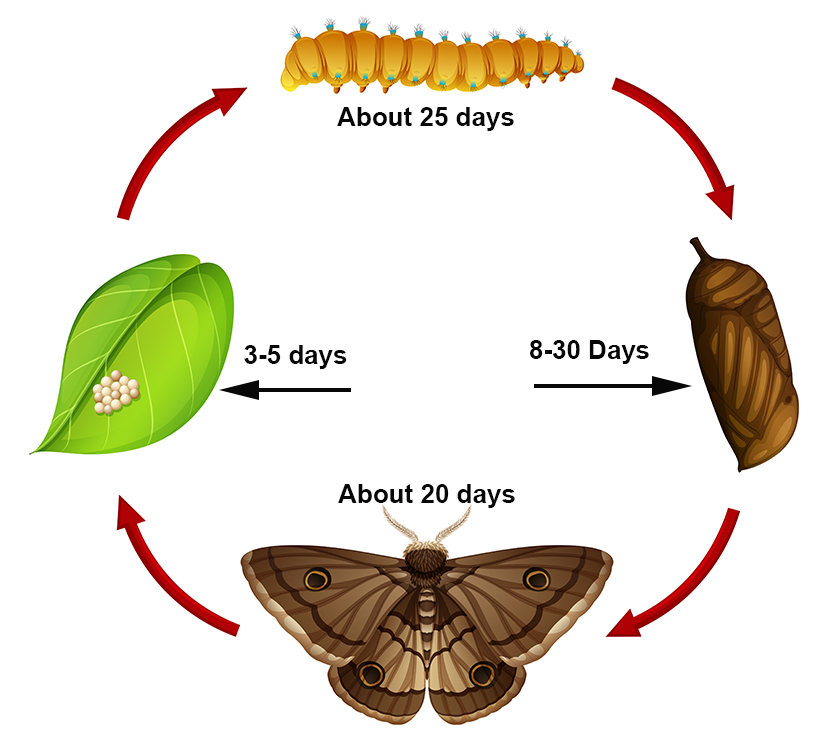 moth and armyworm cycle