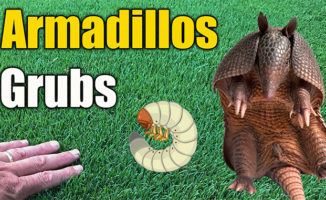 armadillo lawn damage