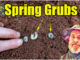 spring lawn grubs