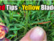 yellow blades grass red tips