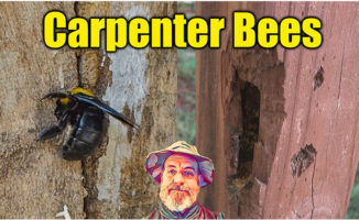 carpenter bee control