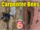 carpenter bee control