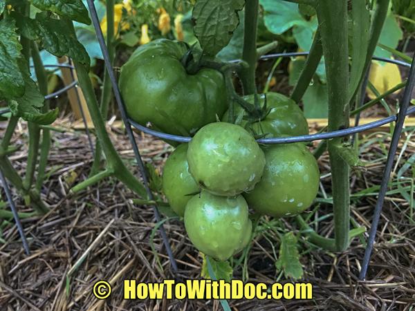 organic grown tomatoes