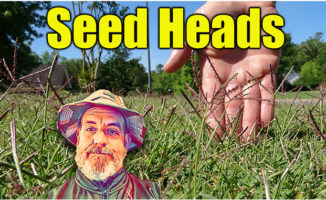 seed heads bermuda lawn