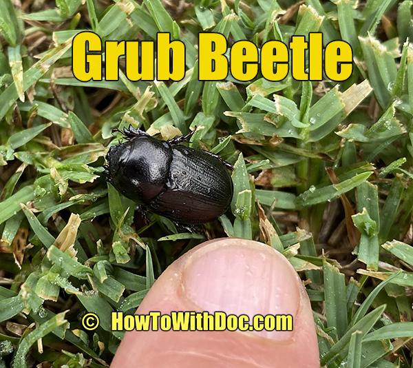 lawn beetle grub