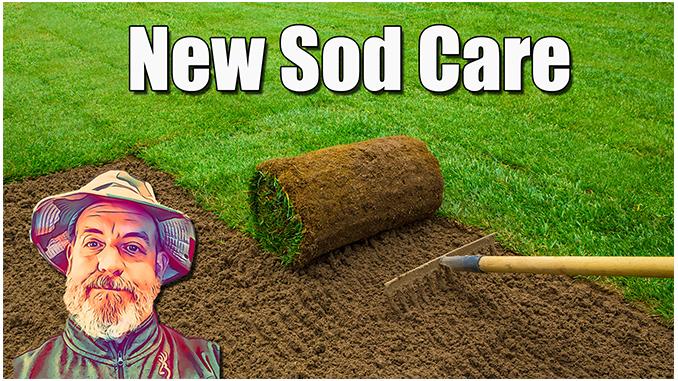 new sod lawn care