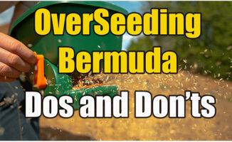 overseeding bermuda with rye