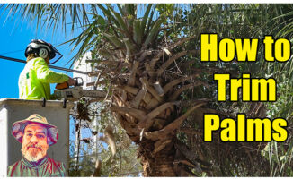 how to trim palm trees