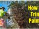 how to trim palm trees