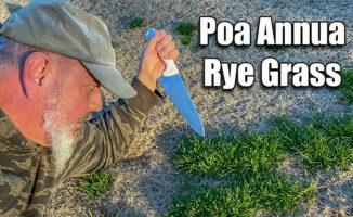 killing poa annua in lawn