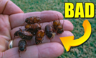 lawn beetles and grubs