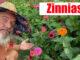 growing big zinnias