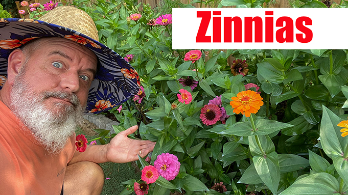 Growing Zinnias and Zinnia Care