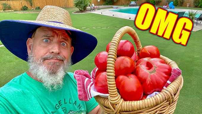 growing huge tomatoes