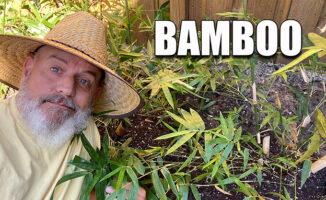 planting bamboo