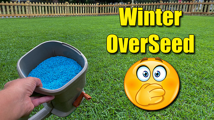 winter overseed lawn